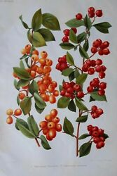 1907 Botanical Print   Cotoneaster   Rose And Hawthorn Family   113 Yrs Old 1055