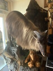 Himalayan Tahr Full Size Taxidermy Mount New Zealand