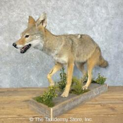 23931 E+ | Coyote Life Size Taxidermy Mount
