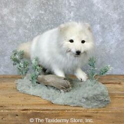 23912 E+ | Arctic Fox Life-size Taxidermy Mount For Sale