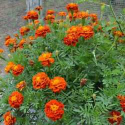 300 Marigold FRENCH quot;SPARKY Mixquot; Seeds 14#x27;#x27; mix of gold orange red yellow