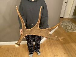 Moose Shed Antler Horns Sheds Taxidermy Skull Mount Carving Wild Idaho Decor