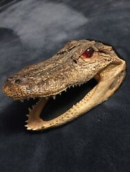 Alligator Head taxidermy Red Eyes Great Teeth Felted Back Authentic Very Clean