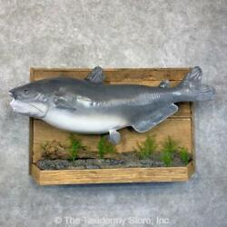 24025 P | Reproduction Blue Catfish Taxidermy Fish Mount
