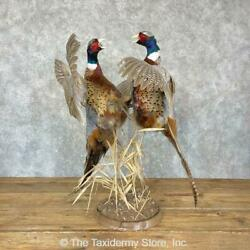 24327 E+   Ringneck Pheasant Taxidermy Bird Mount For Sale