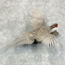 22916 P+   Abyssinian Pheasant Taxidermy Bird Mount For Sale