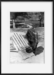 Photo And039old Abeand039 Eagle Mascot Of The 8th Wisconsin Infantry C1863 Civil War T
