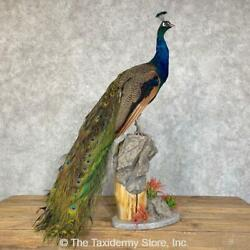 24487 E | Blue Indian Peacock Taxidermy Bird Mount For Sale