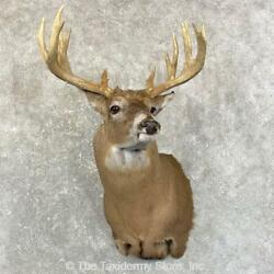 24600 P+   Whitetail Deer Shoulder Taxidermy Head Mount For Sale