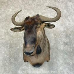 24588 E+ | African Blue Wildebeest Taxidermy Shoulder Mount For Sale