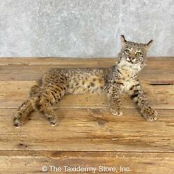 24722 N | Bobcat Life-size Taxidermy Mount For Sale