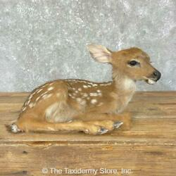 24696 E+ | Whitetail Deer Fawn Life-size Taxidermy Mount For Sale