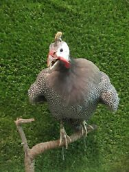 Perched Helmeted Guinea Fowl Real Bird Taxidermy Mount Wings Out