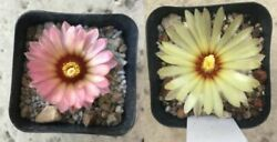 Two-fer Astrophytum Asterias Rubriflora And Yellow Flower