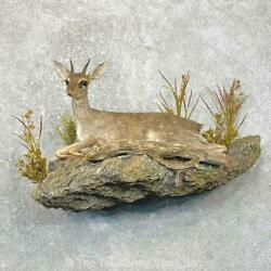 24803 V+ | Guenther's Dik-dik Taxidermy Life-size Mount For Sale