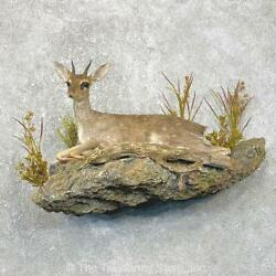 24803 V+   Guentherand039s Dik-dik Taxidermy Life-size Mount For Sale