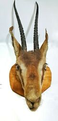 African Thomson Gazelle Head Male Taxidermy With Real Horns Wall Mount Plaque