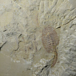 A Big Fuxianhuia Protensa Fossils Carries A Brood Of Larvae Fossils