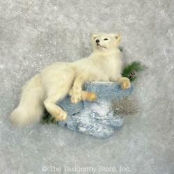 24922 P | Arctic Fox Life-size Taxidermy Mount For Sale