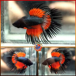 Live Betta Fish Male Fancy Absolute Super Orange Wasp Dragon Crowntail M504