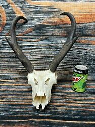 Trophy Pronghorn Antelope Skull HORN Unique Gift Animal taxidermy Art Craft