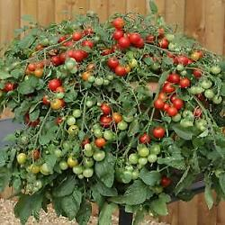 Tomato Red Profusion  1,000 Seeds