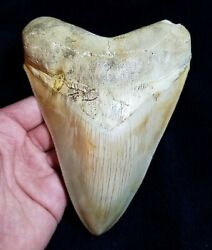 Quality Large 5 1/2 Indonesian Megalodon Fossil Shark Tooth Teeth