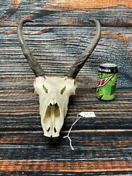 Trophy Pronghorn Antelope Skull Jaws HORN Unique Gift Animal taxidermy Art Craft