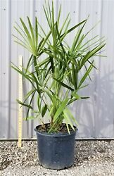 Needle Palm Tree 4 5ft Tall Extra Large