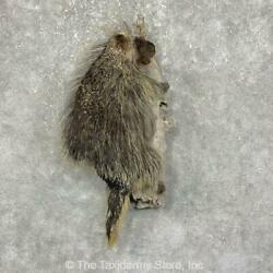 25239 P | Porcupine Life-size Taxidermy Mount For Sale