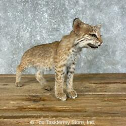 25448 P   Bobcat Kitten Life-size Taxidermy Mount For Sale