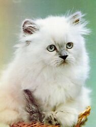 CAT- HIMALAYAN BluePoint Kitten on ONE 16