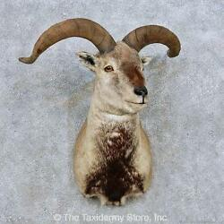 14063 E+   Himalayan Bharal Sheep Shoulder Taxidermy Mount For Sale