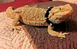 Lil#x27; Bestie Leather Studded Collar For Bearded Dragons reptiles Black or Red