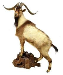 Taxidermy Full Body Goat Taxidermy Mount 27 Horns Man Cave Stunning