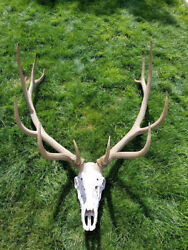 Large elk antler antlers rack skull mount taxidermy score 381 gross