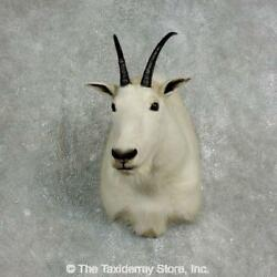 17647 E+ | Mountain Goat Taxidermy Shoulder Mount For Sale