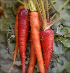 Organic Atomic Red Carrot 50 Seeds High Vitamin A Medical Edibles
