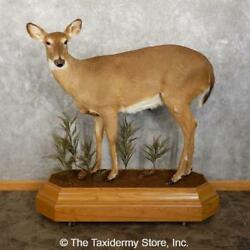 18764 E | Whitetail Deer Doe Taxidermy Life-size Mount For Sale