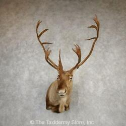 20337 P+   Central Canada Barren Ground Caribou Taxidermy Shoulder Mount For S