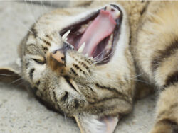 Kitten Yawning Funny Laughing Cute Cat Vibrant Poster Print Paper Or Wall Vinyl