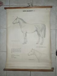 Original Vintage Zoological Pull Down School Charts Of Horses , Bronco,11 Poster