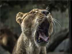 Lioness Female Lion Yawning Roaring Cute Cat Poster Print Paper Or Wall Vinyl