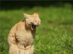 Yawning Meowing Funny Outside Cute Cat Poster Print Paper Or Wall Vinyl