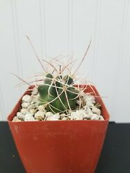 Ferocactus cylindraceus acanthodes Red Barrel Cactus Well Rooted Plant $18.00