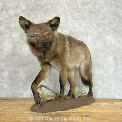 22205 E+   Black Coyote Life-size Taxidermy Mount For Sale