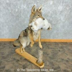22474 P | Coyote With Snowshoe Hare Life-size Taxidermy Mount For Sale