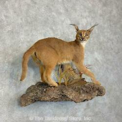 21473 P | African Caracal Life-size Taxidermy Mount For Sale