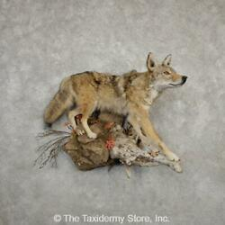 20331 E+ | Coyote Life Size Taxidermy Mount