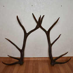 Elk Antler Sheds Pair - Deer Taxidermy Antlers Mount Horns Carving - Decor